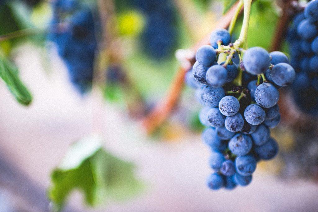 Uvas, cacho de uvas, castas de uvas na ramada, na vindima de vinho do Porto
